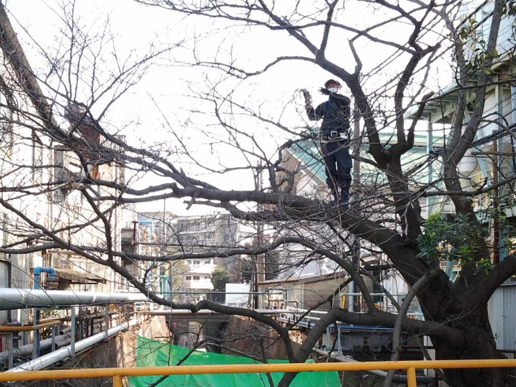 河川上の桜の伐採